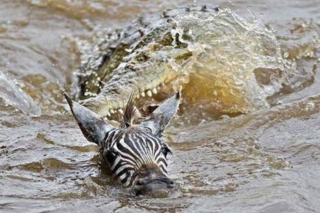 Sürüden kopanı timsah kapar