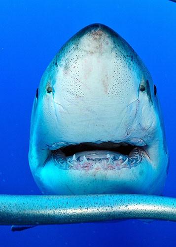 Köpek balığının burnunu sıktı!