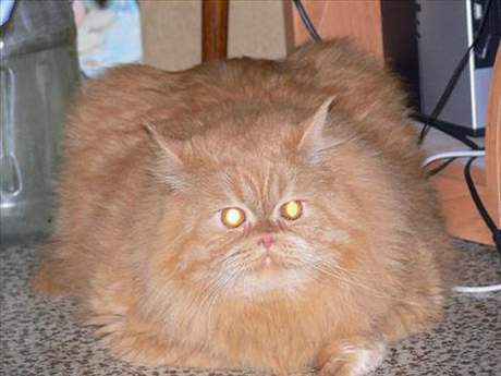 Şişman kediler