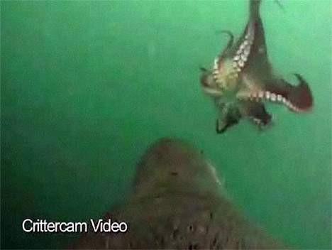 Ahtapot, denizaslanına yem oldu