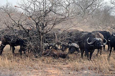 Bufalolar, aslanlara karşı