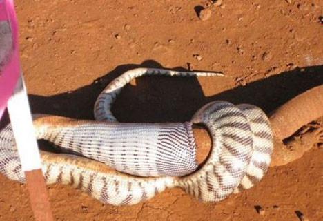 Yılan kertenkeleyi böyle yuttu