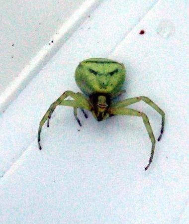 Bodrumda İnsan yüzlü örümcek