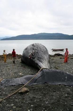Ölü kambur balina gemiye takıldı