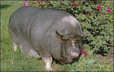 Hayvanlar da obez oldu !
