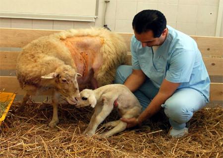 Kopya koyunumuz Oyalı böyle doğdu!