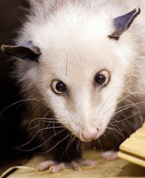 Şaşı sıçan Heidi ünlü oldu