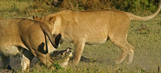 Timsah aslana kafa tutarsa!