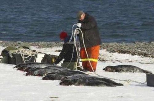 Devlet izinli fok avı başladı!
