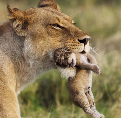 Aslan yavrularını böyle korudu