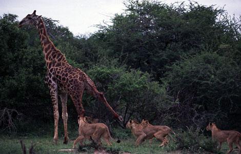 Aslanlar zürafayı böyle parçaladı!