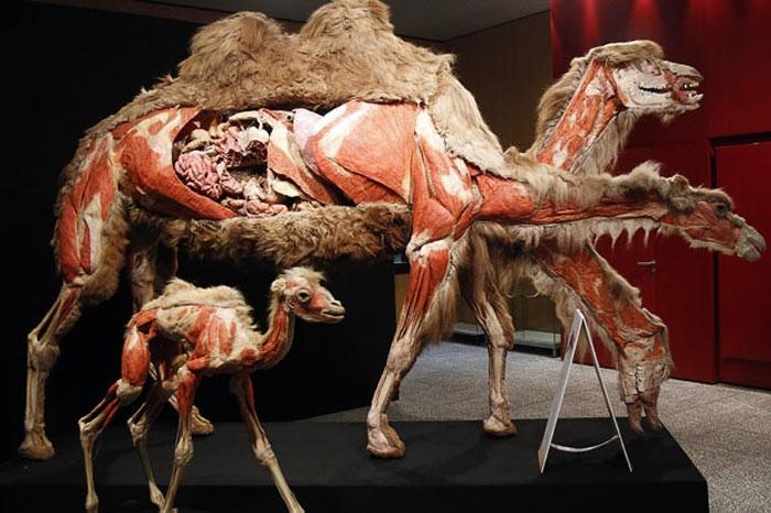 Hayvan anatomi sergisi beğeni topladı!