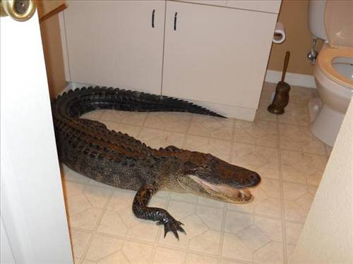 Banyodan timsah çıktı