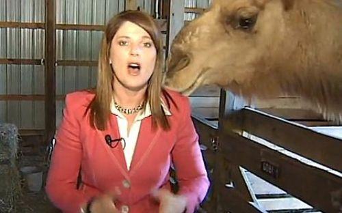 Deve, kadın muhabire saldırdı!