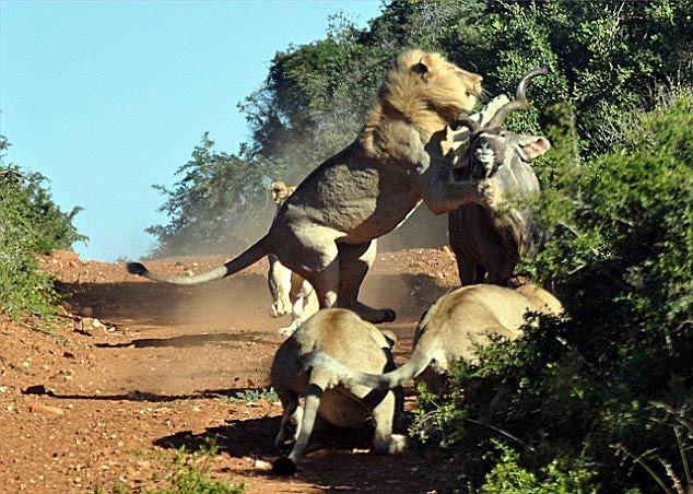Aslanlar avlarını böyle yakaladı!