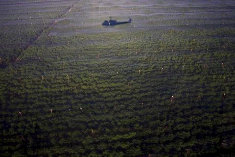 120 hektarlık marihuana tarlası