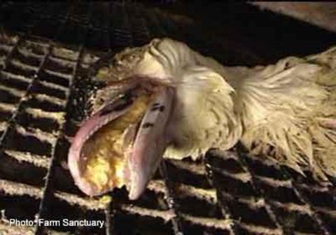 Kazlara akıl almaz işkence !