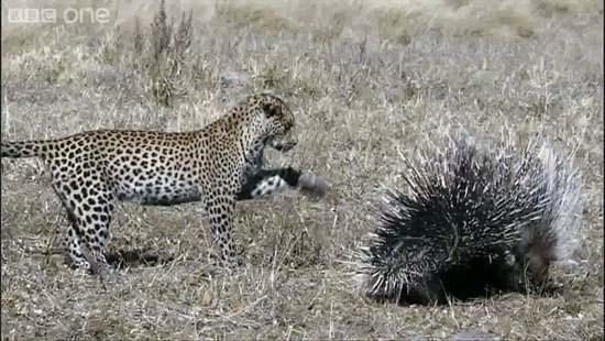 Leoparın kirpi avı !