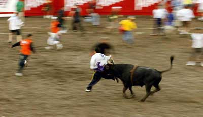 Kosta Rika boğa güreşi festivali