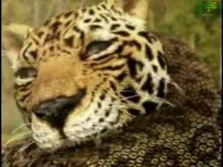 Anakonda Jaguara saldırdı