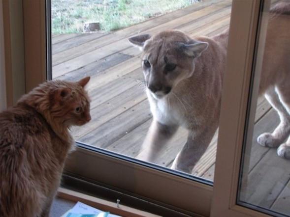 Puma kediyle karşılaşırsa !