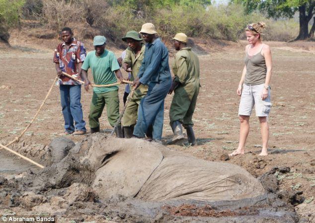Filleri çamurdan böyle kurtardılar !