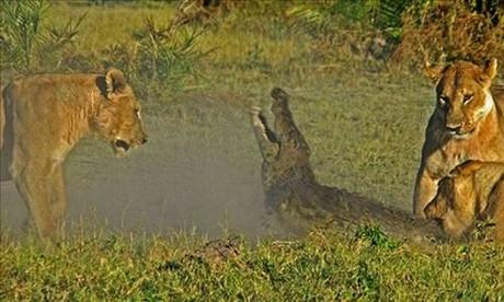 Aslan ve timsahın hayatta kalma savaşı