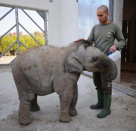 Yavru fil İzmir 350 kilo