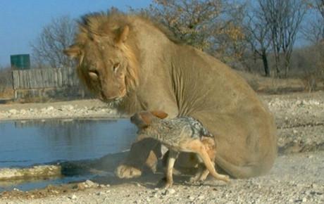 Cesur çakal aslanla karşı karşıya