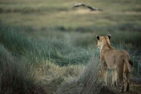 Dişi aslan zebra avına çıktı