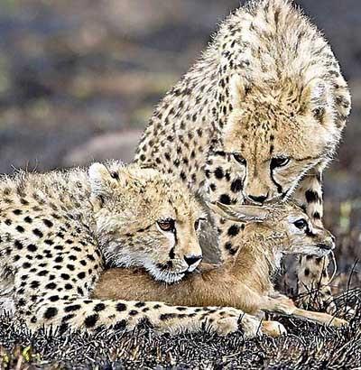Çita yavruları ceylan avında