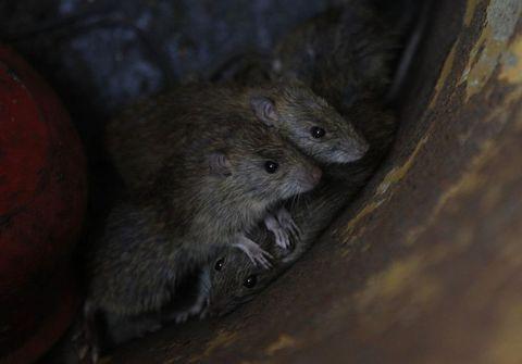 Pazarda ızgaralık fare satıyorlar !