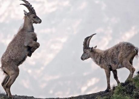 Dağ keçilerinin inanılmaz halleri