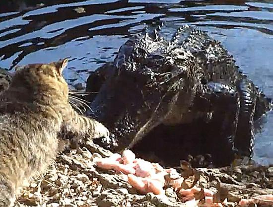 Kedi timsahı rezil etti !