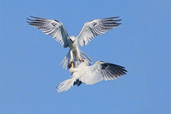 Kuşların av mücadelesi