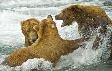 Boz ayılar somon avında