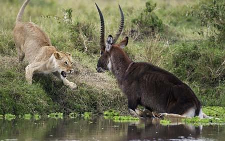 Geyiğin aslana meydan okuması