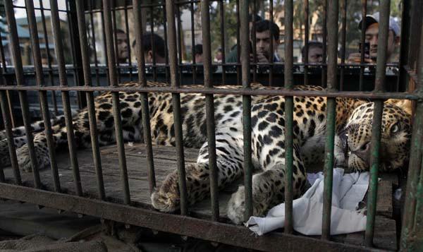 Hindistanda leopar saldırısı