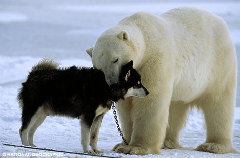 Kutup ayısının şaşırtan davranışı!