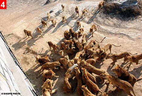 Canlı canlı aslanlara attılar