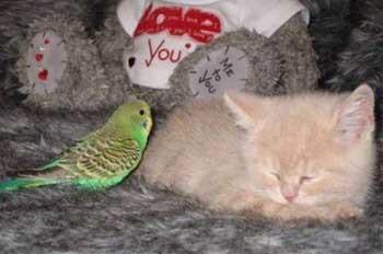 Muhabbet kuşu ile kedinin inanılmaz dostluğu