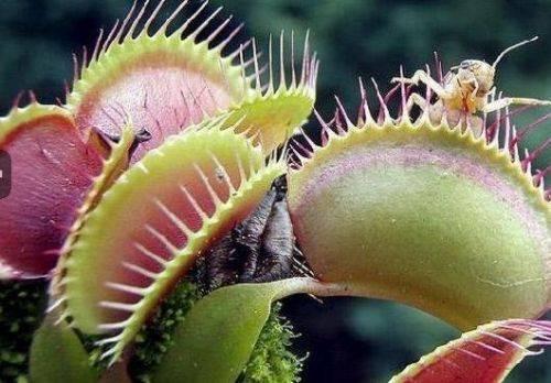 Bu bitki fare yiyor