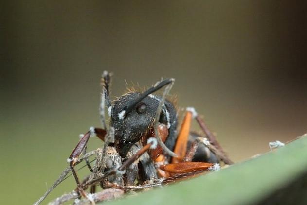 Zombi karınca dehşeti