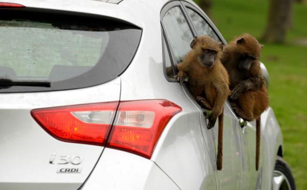 Yeni arabayı 40 maymun test etti