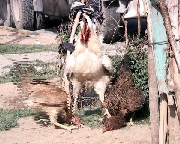 Kavgacı tavukları horoz ayırdı