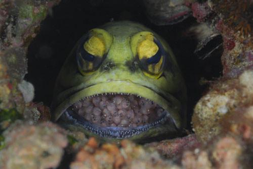 Bu balık yavrularını ağzında taşıyor