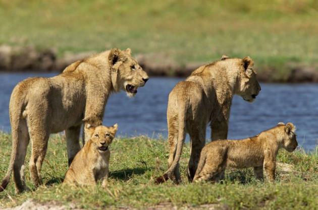Anne aslanın timsahla ölümüne savaşı