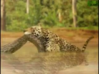 Anakonda Jaguara karşı !