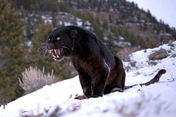 Karlar altında yırtıcı hayvanlar