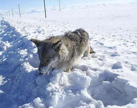 Dağdaki kurt soğuktan dondu!